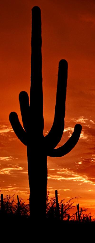 Saguaro_Sunset